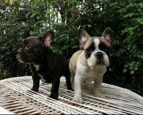 Bulldog francés hembra y macho