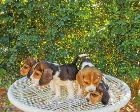 Cachorros beagle macho y hembra