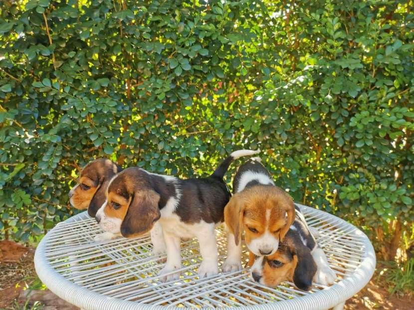Cachorros beagle macho y hembra - 0