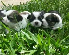 Cachorros shitzu hembra y macho