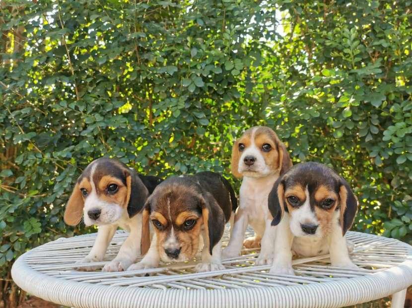 Cachorros beagle macho y hembra - 1