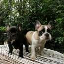 Bulldog francés hembra y macho - 2