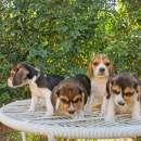Cachorros beagle macho y hembra - 2