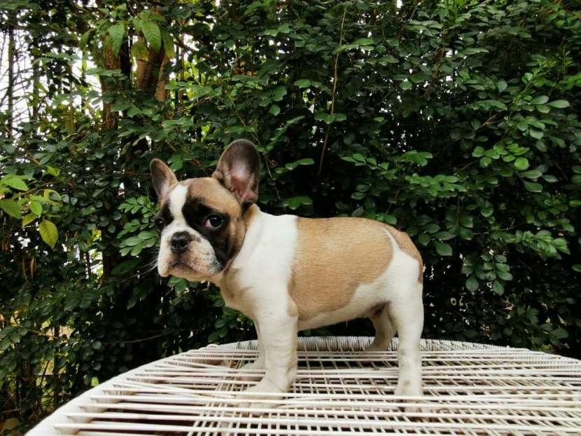 Bulldog francés hembra y macho - 3