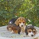 Cachorros beagle macho y hembra - 3