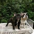 Bulldog francés hembra y macho - 4