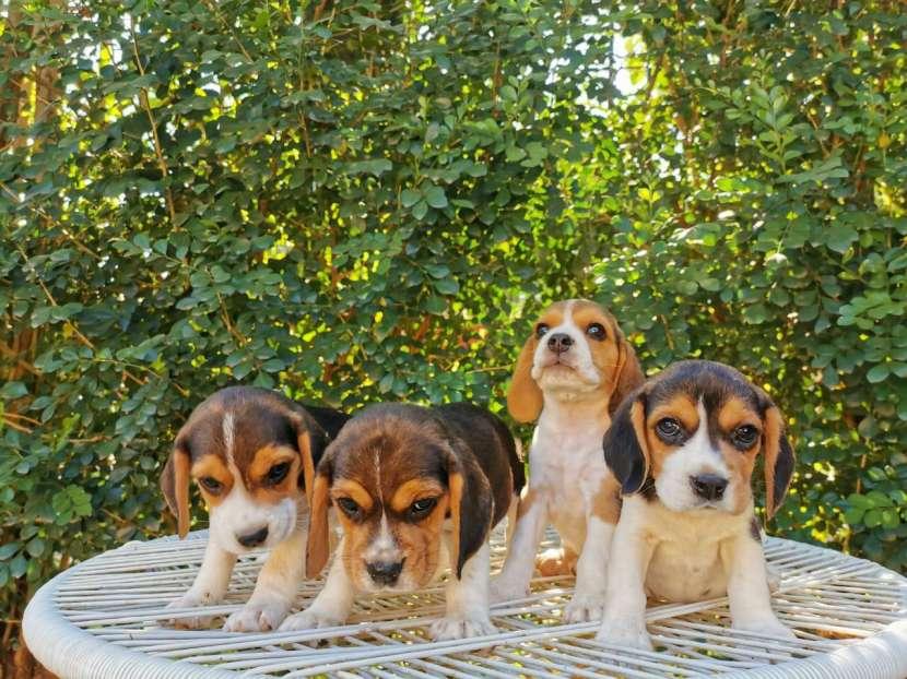 Cachorros beagle macho y hembra - 4