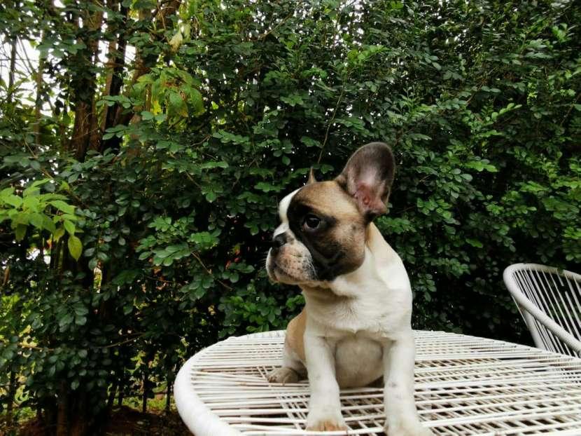 Bulldog francés hembra y macho - 5