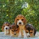 Cachorros beagle macho y hembra - 5