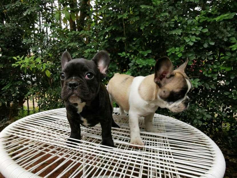 Bulldog francés hembra y macho - 7