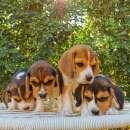 Cachorros beagle macho y hembra - 7