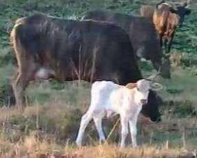 Vaca con cría