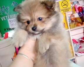 Cachorro Mini Lulu macho