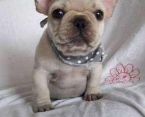 Cachorros bulldog francés 100%