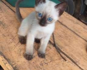 Gatito siamés