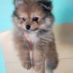 Mini Lulu de Pomerania macho
