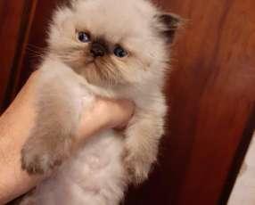 Gato Persa macho