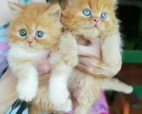 Gatitos persas