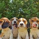 Cachorros Beagle - 0