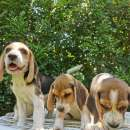 Cachorros Beagle - 1
