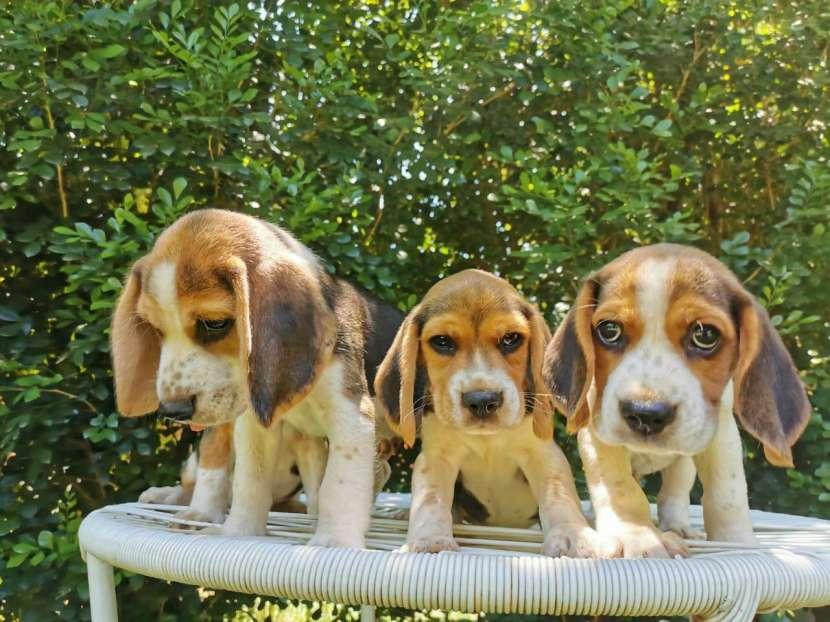 Cachorros Beagle - 2