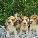 Cachorros Beagle - 3