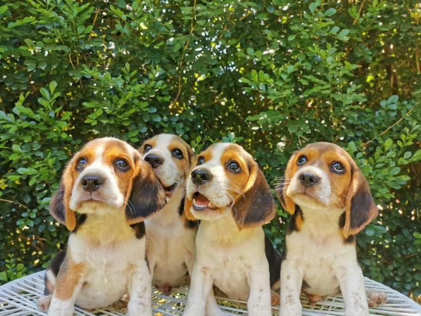Cachorros Beagle - 4
