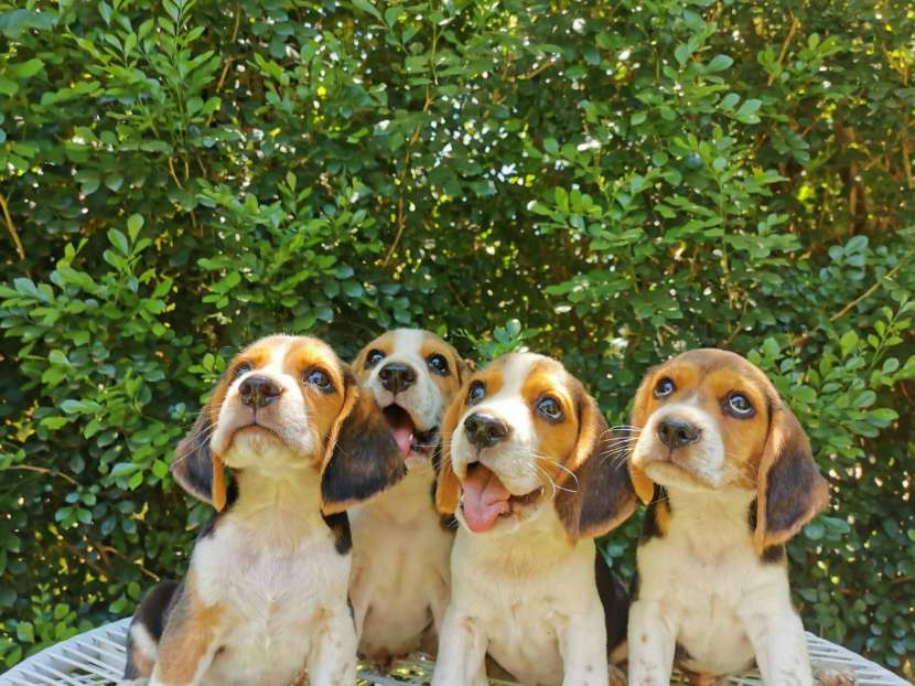 Cachorros Beagle - 5
