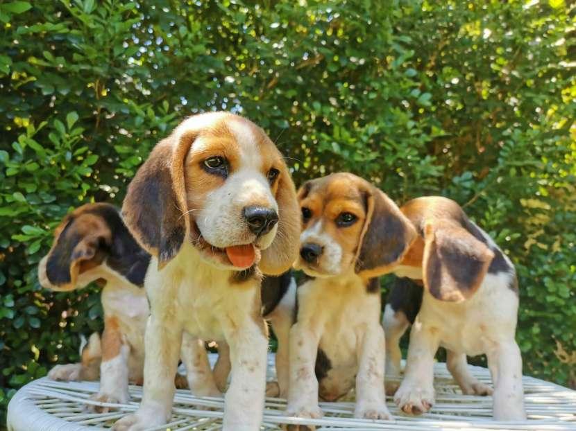 Cachorros Beagle - 6
