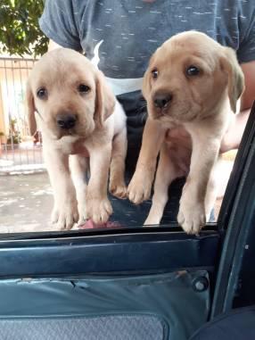 Cachorros de pura raza