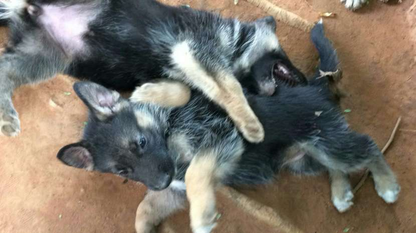 Cachorros pastor alemán - 1