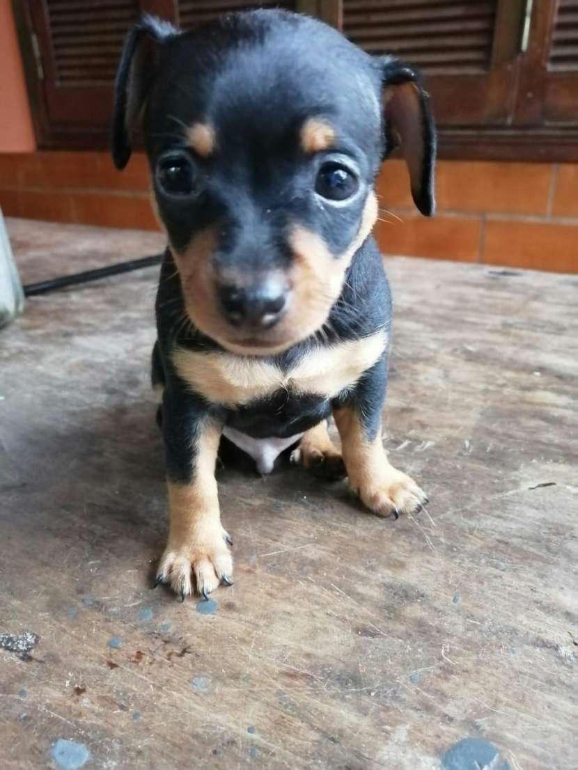 Cachorros pincher miniatura - 1