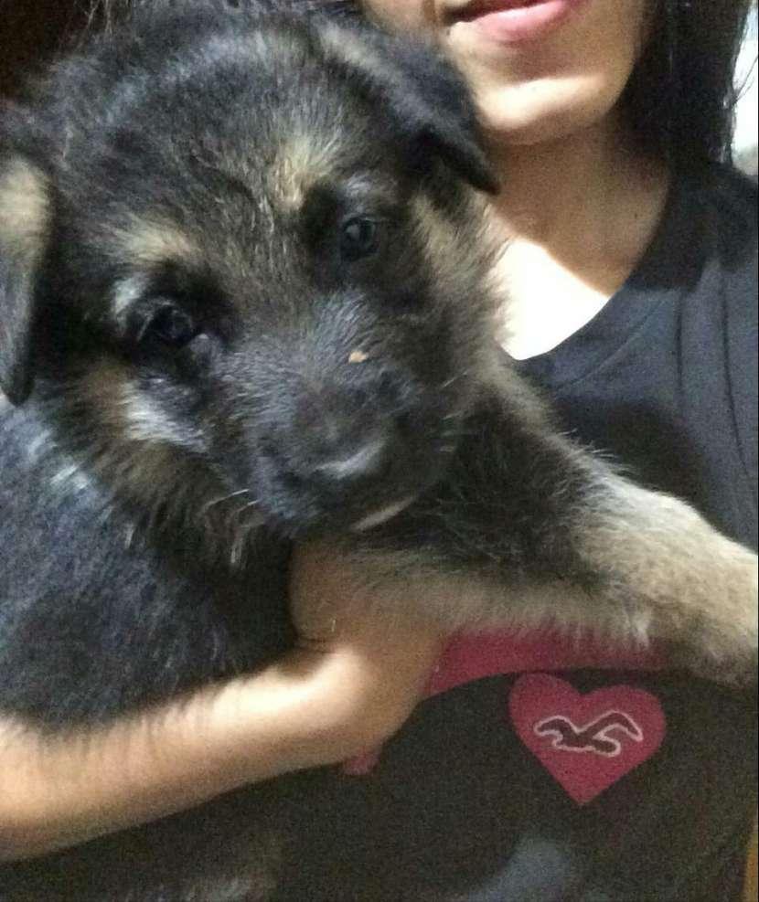 Cachorros pastor alemán - 2