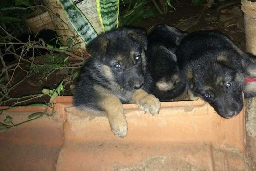 Cachorros pastor alemán - 3