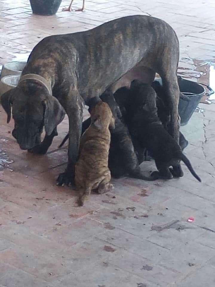 Cachorros fila brasilero - 4