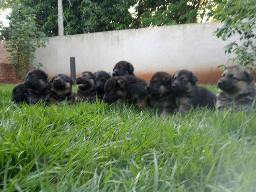 Cachorros pastor alemán - 5