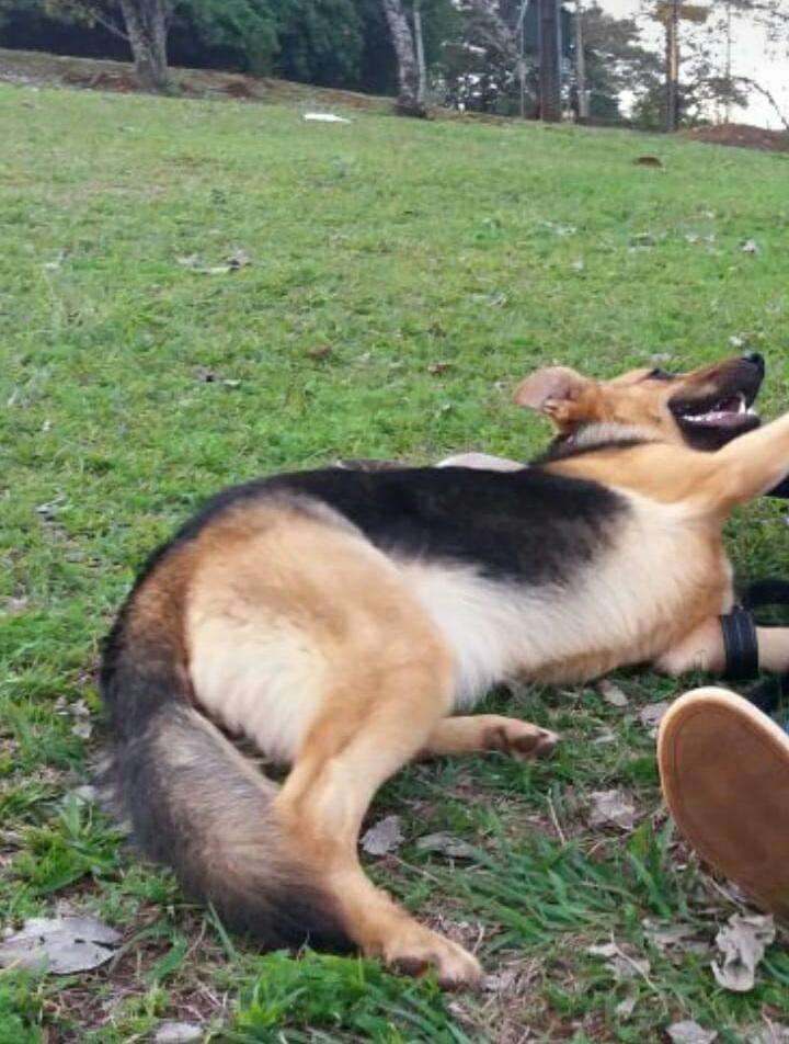 Cachorros pastor alemán - 7
