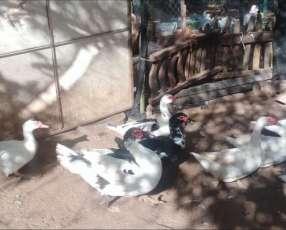 Patos de corral en Itá