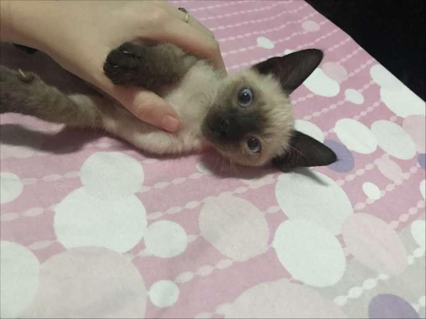 Gato siamés macho - 0