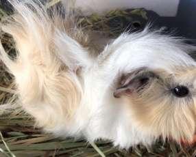 Conejos de la india angoras