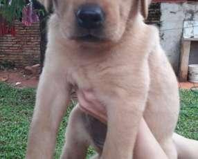 Cachorro Labrador hembra y macho