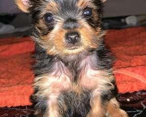Cachorro yorkshire miniatura machos