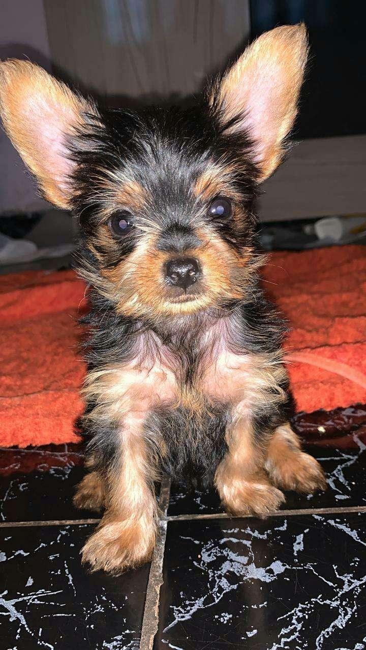 Cachorro yorkshire miniatura machos - 0