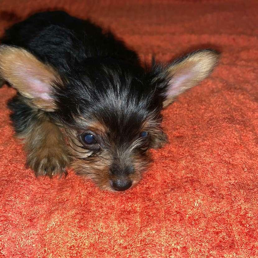Cachorro yorkshire miniatura machos - 1