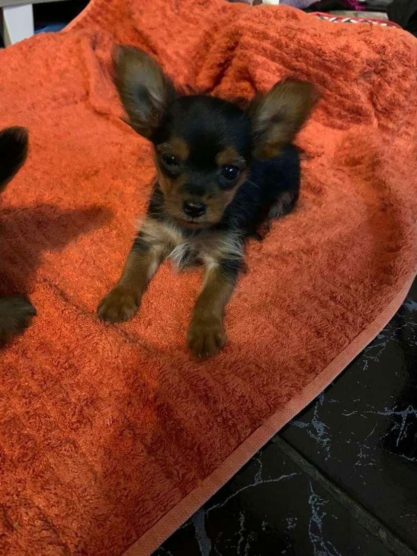 Cachorro yorkshire miniatura machos - 2
