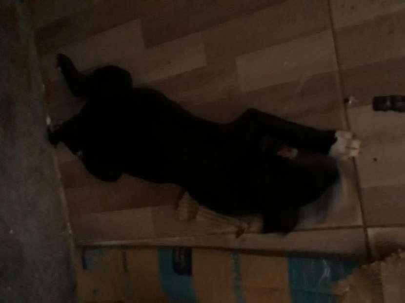 Perro de la raza pitbull - 2