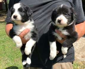 Cachorros border collie macho y hembra plan sanitario al día