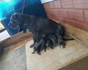 Cachorro mastín napolitano cachorro macho y hembra plan sanitario al día