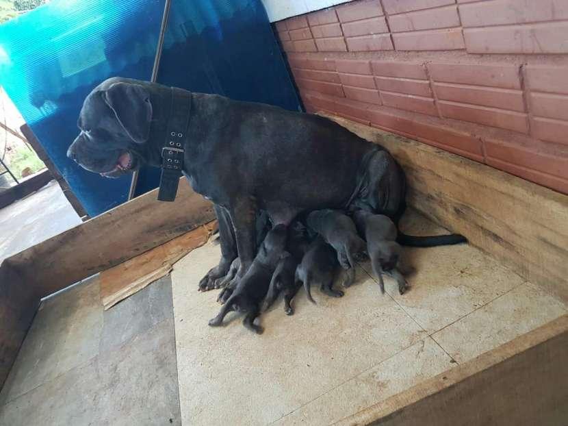 Cachorro mastín napolitano cachorro macho y hembra plan sanitario al día - 0