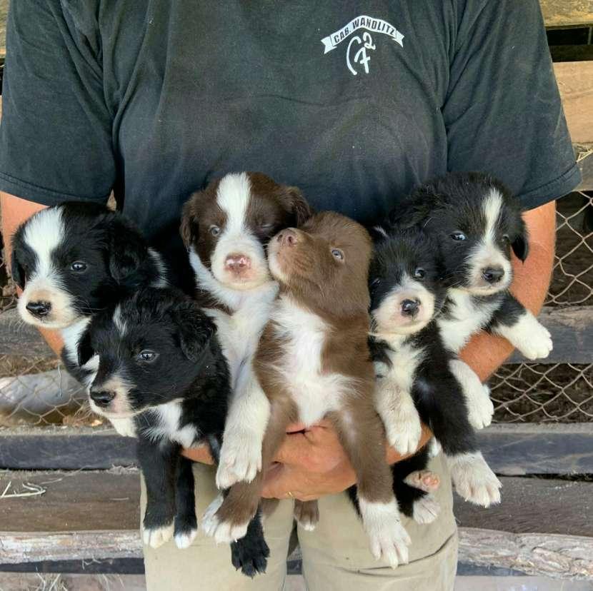 Cachorros border collie macho y hembra plan sanitario al día - 1